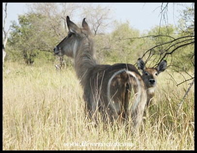 Waterbuck cow and calf