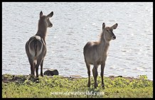 Waterbuck cows