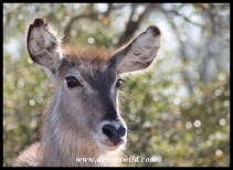 Waterbuck cow