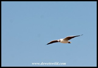 Grey-headed gull in flight