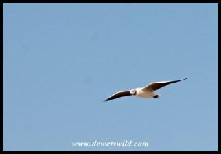 Grey-headed gull in flight