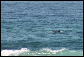 Dolphins in the waves at Cape Vidal