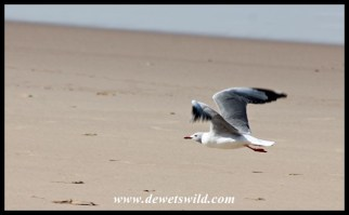 Grey-headed gull taking flight at Cape Vidal's beach