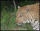 Leopard sighting on the Grassland Loop on the Eastern Shores of Lake St Lucia - 15th June 2015