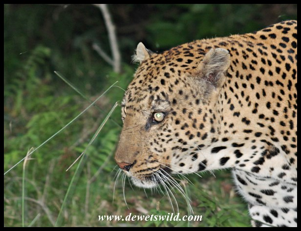 Leopard sighting on the Grassland Loop - 15th June 2015