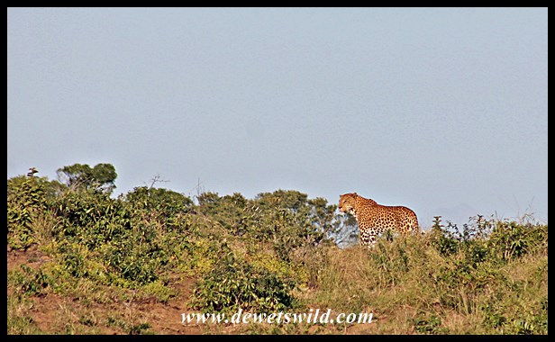 Cape Vidal Leopard 20150613