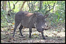 Wildlife abounds in the game park next to the Crocodile Centre, this is a warthog
