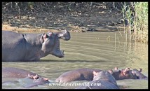Hippo showing enormous gape