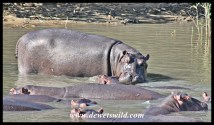 Hungry Hippo June 2015 (11)