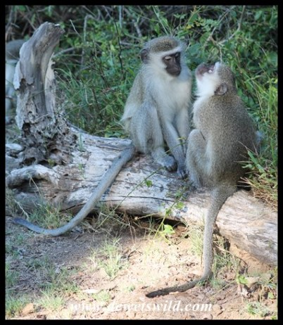Keep an eye open for the vervet monkeys while having a picnic at Mission Rocks
