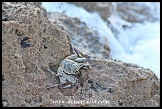 Natal Rock Crab at Mission Rocks