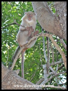 This leucistic Samango Monkey is a familiar inhabitant of Cape Vidal