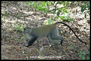 Male Samango Monkey