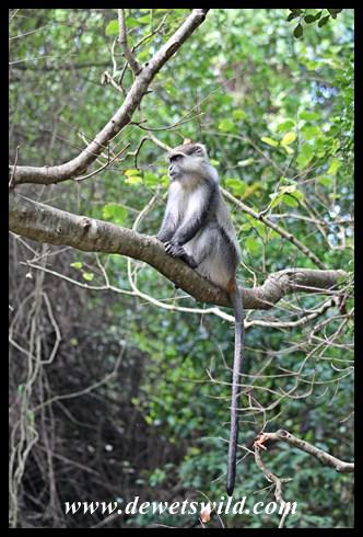 Samango Monkey (5)