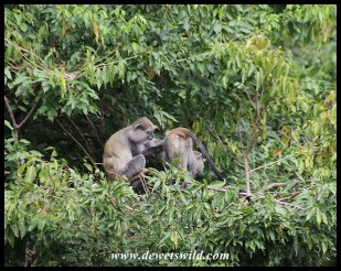 Samango Monkeys grooming in a treetop