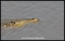 Swimming crocodile