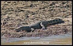 Crocodile on shore
