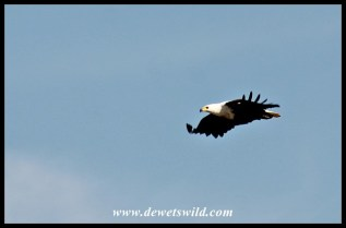 African Fish Eagle flypast
