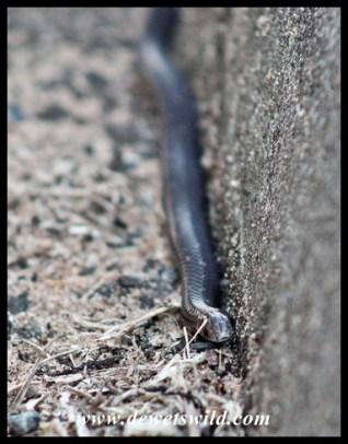 Variegated slug eater