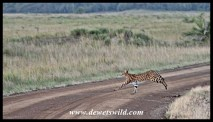 Serval running from lapwings
