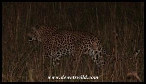 Leopard after dark