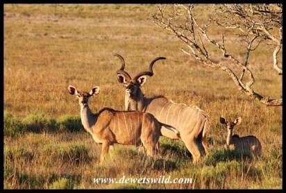 Kudu family