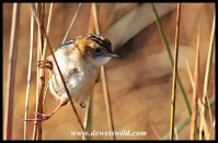 Cloud cisticola