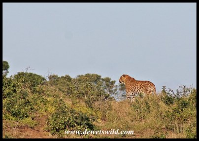 Leopard south of Cape Vidal