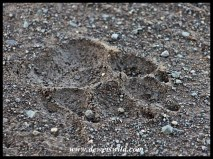 Spotted hyena track
