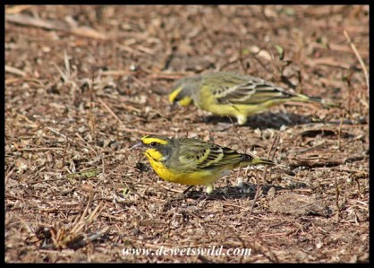 Yellow-fronted canaries searching for food in rhino dung