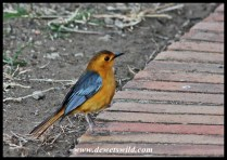 Red-capped Robin-Chat in Hilltop Camp