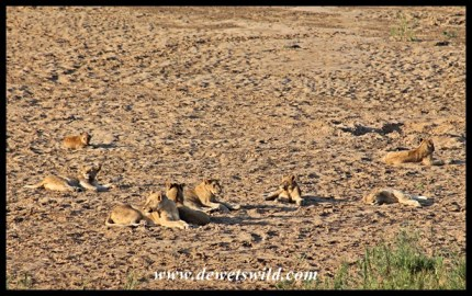 Lions on the sand in the bed of the Black Umfolozi