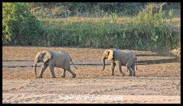 Elephants visiting a small pool remaining in the Black Umfolozi