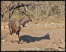 Nyala at Ubhejane Hide