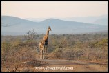 Giraffe and Imfolozi scenery