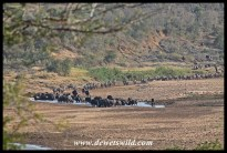Huge herd of buffalo heading for a pool in the Black Umfolozi