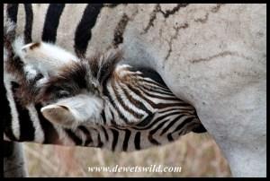 Thirsty baby zebra