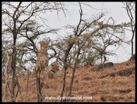 Cheetah mother and her large cub, seen close to Mpila