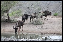 Blue wildebeest drinking at Ubhejane