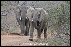 Elephants claiming the right of way