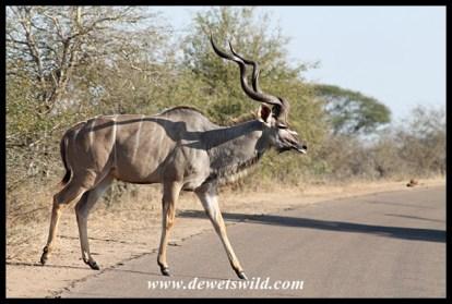 Kudu crossing the road
