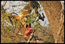 Remains of a leopard kill