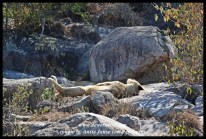 Lionesses, on the rocks