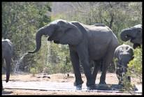 Elephants drinking at De La Porte waterhole