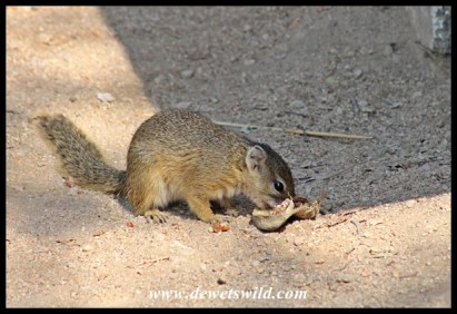 Squirrel at Skukuza