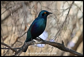 Greater Blue-eared starling at Skukuza