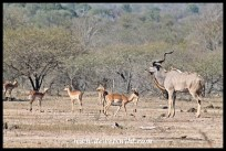 Kudu and impala at Renosterkoppies
