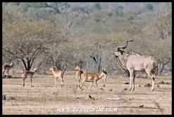 Kudu and impala at Renosterkoppies