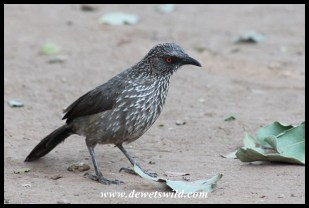 Arrow-marked babbler at Nkuhlu