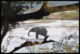 Elephant drinking from the Sabie